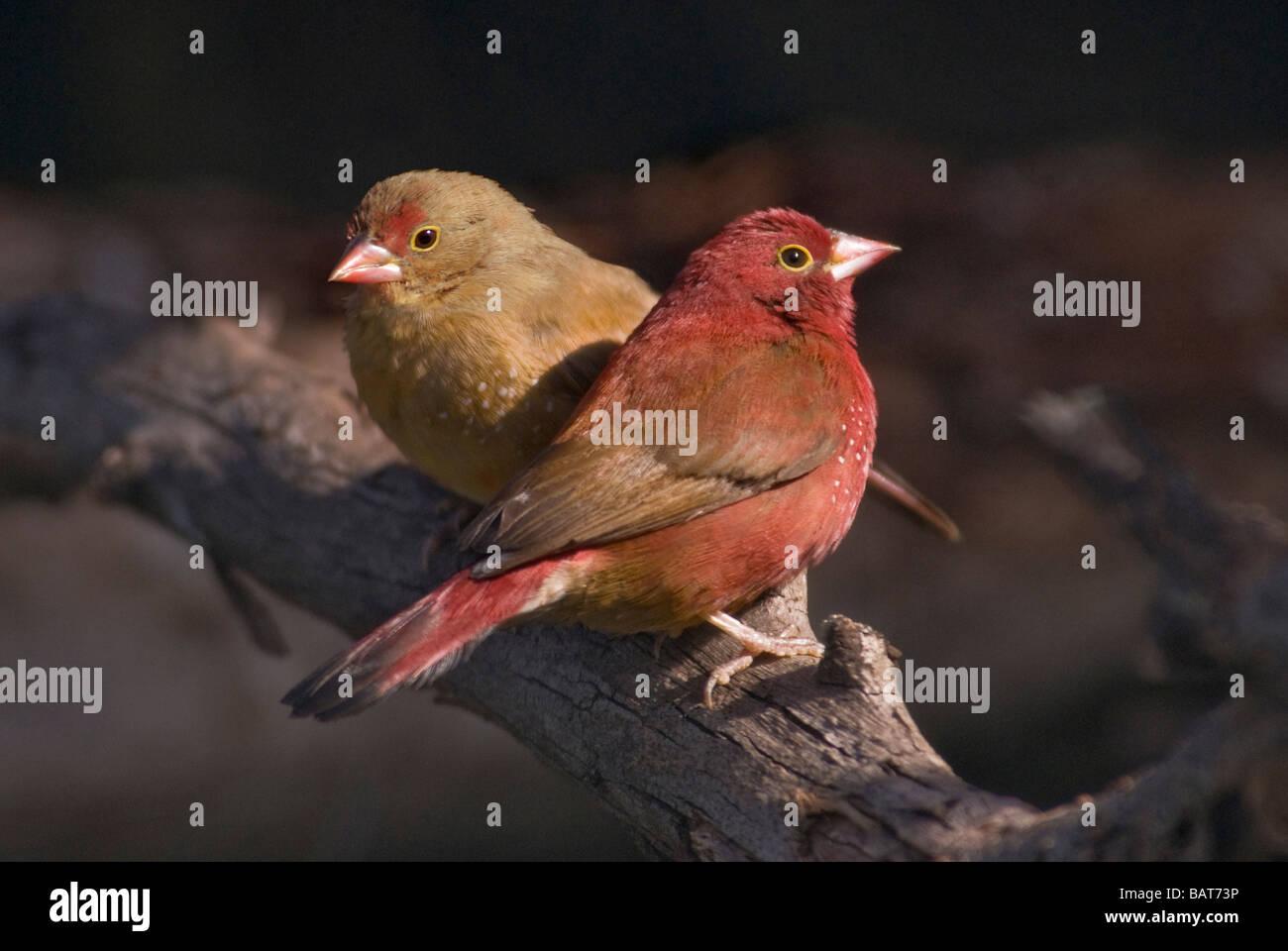 Red-billed Firefinch pair 'Lagonosticta senegala' Stock Photo