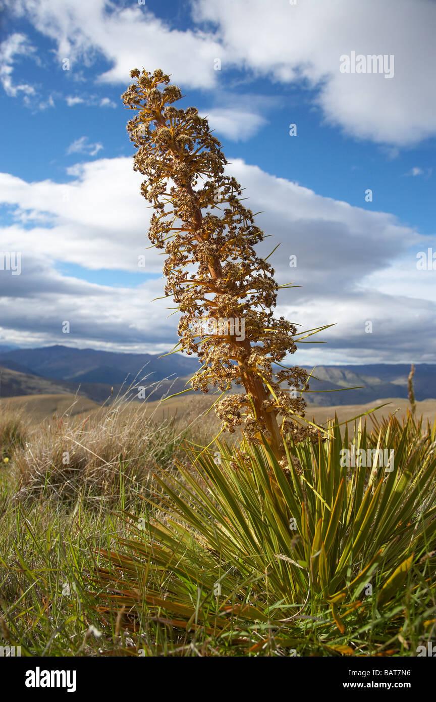Speargrass or Golden Spaniard Flower Aciphylla aurea Carrick Range Central Otago South Island New Zealand - Stock Image