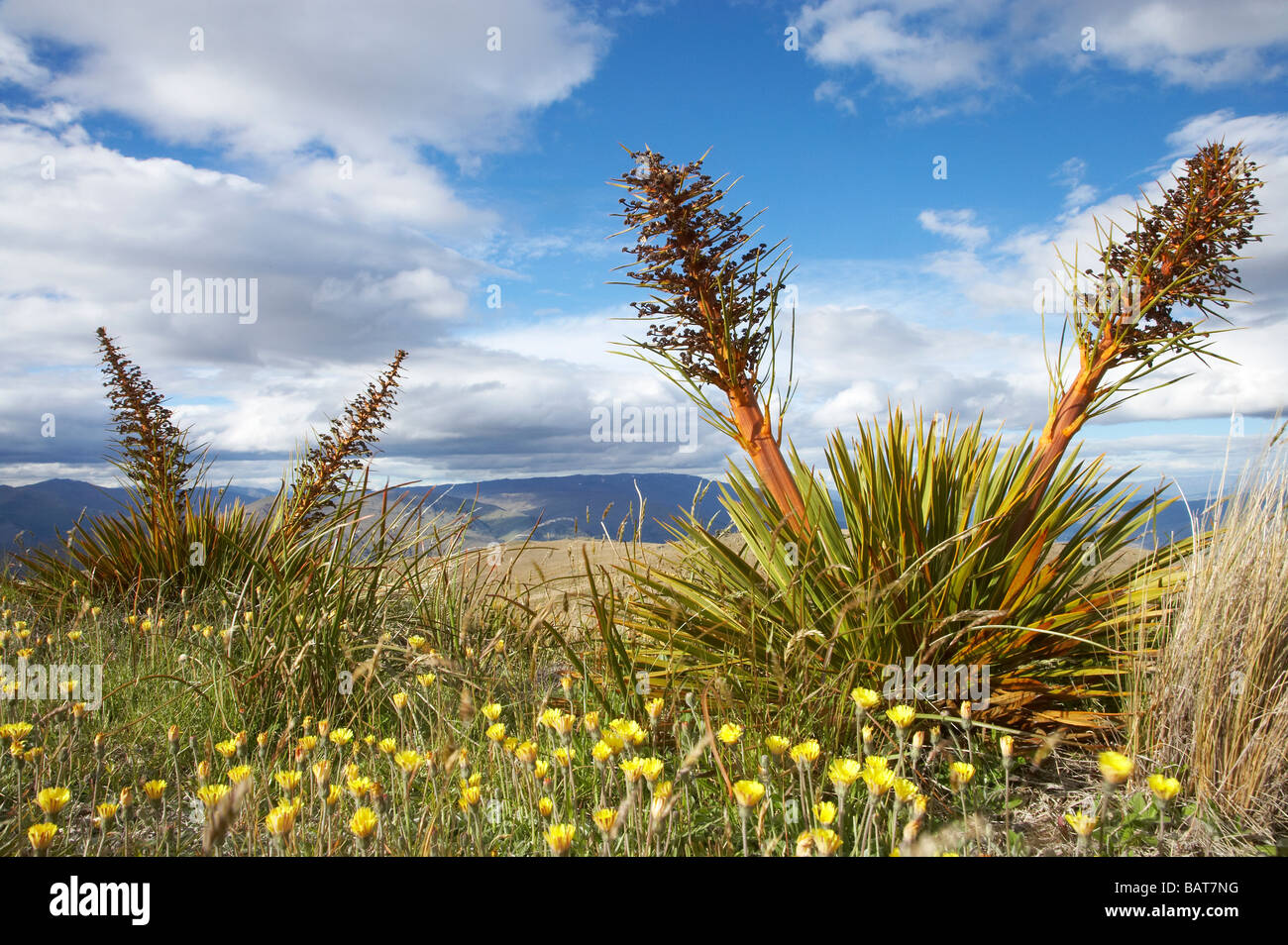 Speargrass or Golden Spaniard Flower Aciphylla aurea Carrick Range Central Otago South Island New Zealand - Stock Image