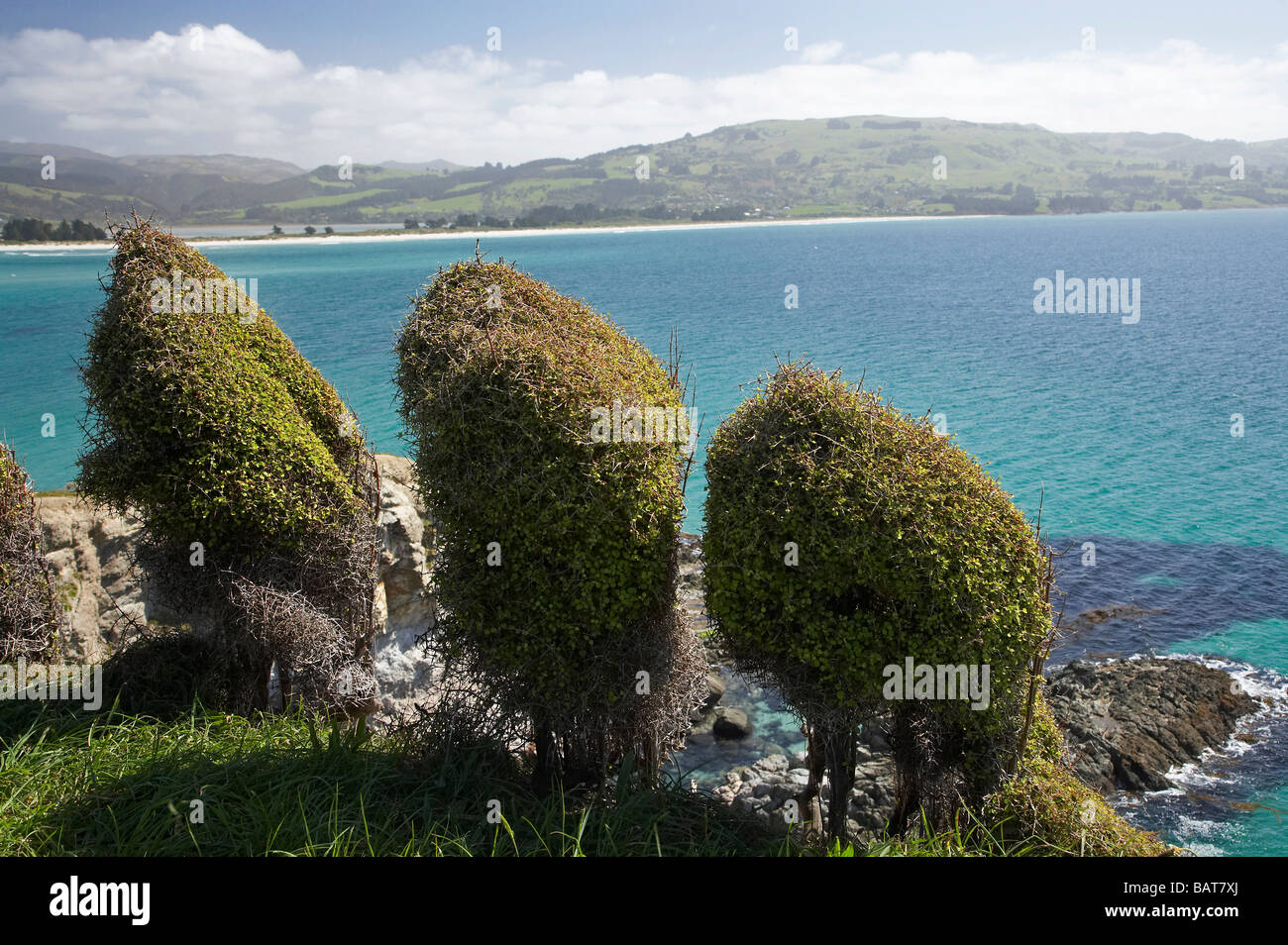 Windblown Bushes and View from Mapoutahi Historic Maori Pa Site north of Dunedin South Island New Zealand Stock Photo