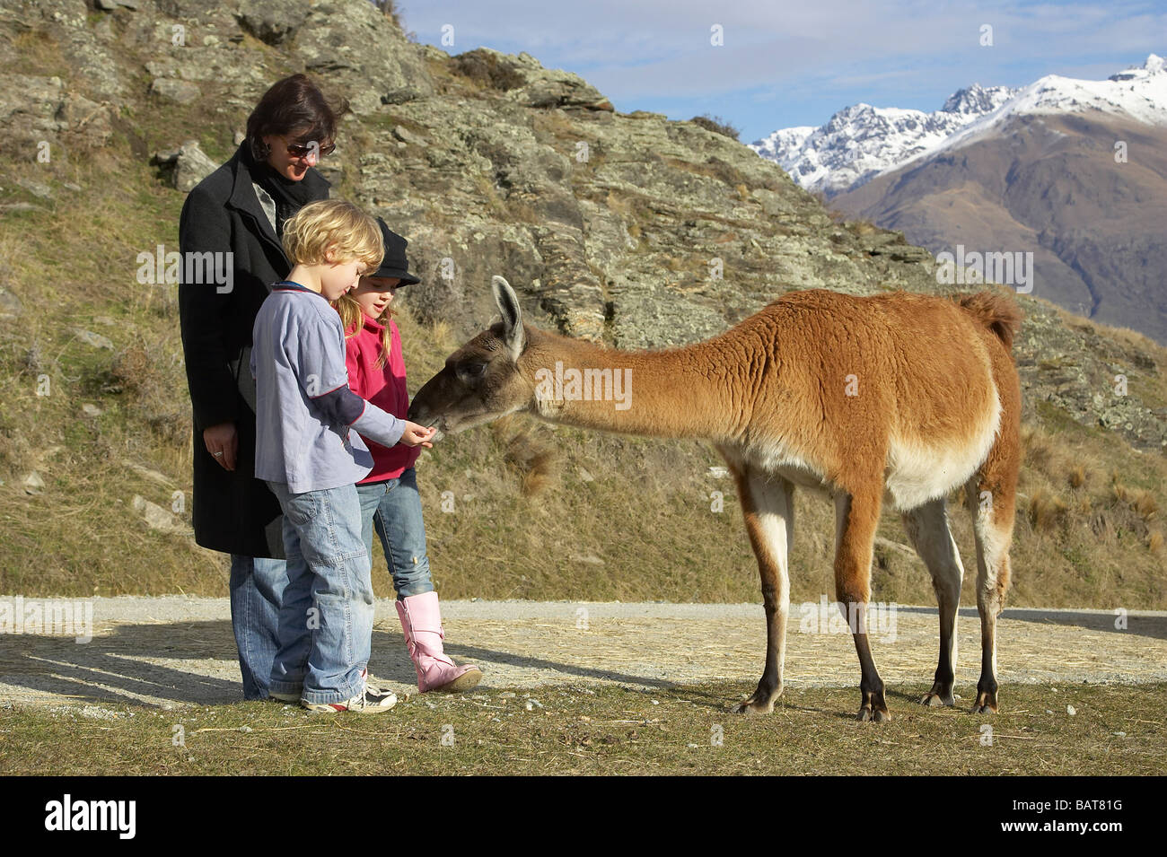 Feeding the Llama Deer Park Heights Queenstown South Island New Zealand - Stock Image
