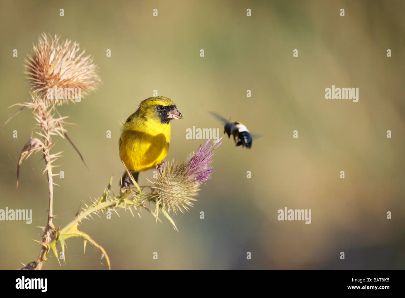 African Citril, serinus citrinelloides, and Bumble in a Close Encounter on the shore of Lake Awassa - Stock Image