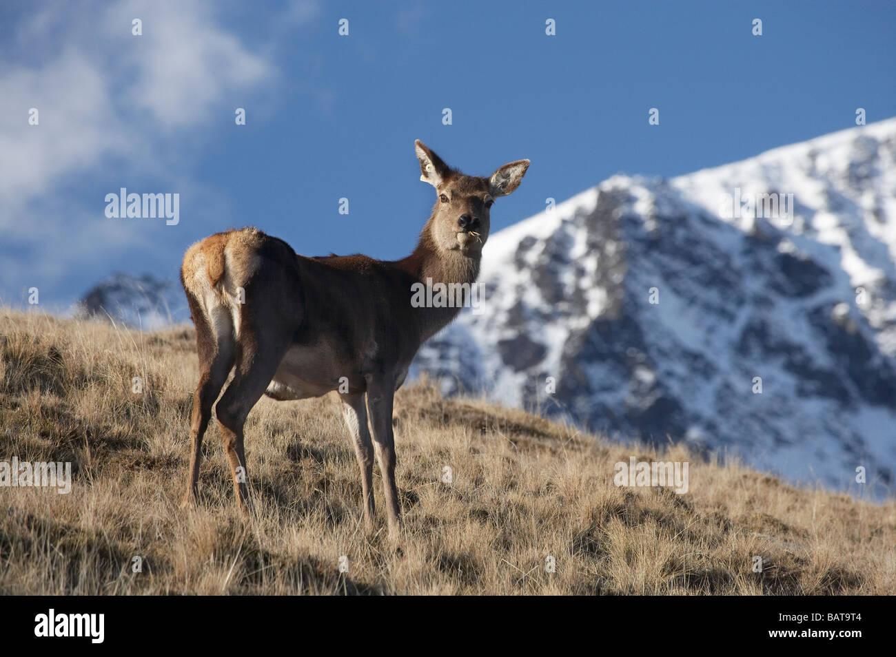 Red Deer Cervus elaphus and The Remarkables Deer Park Heights Queenstown South Island New Zealand - Stock Image