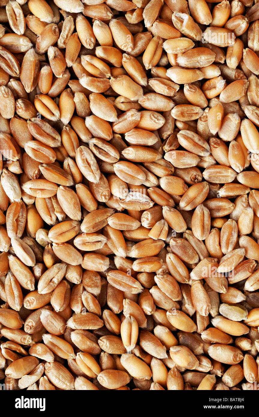 Wheat Kernels Close Up - Stock Image