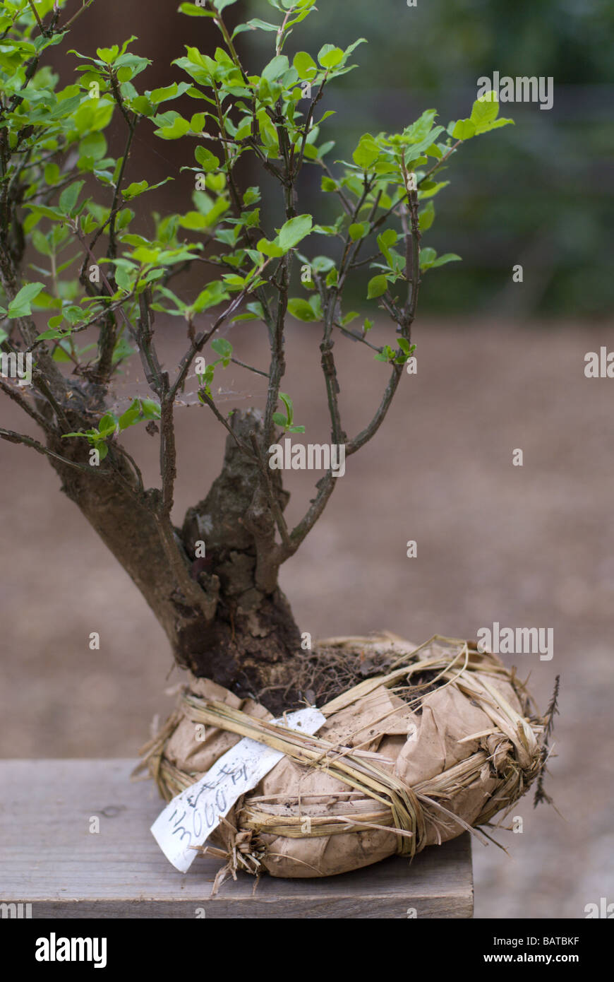 A Bonsai Style Tree With Roots Wrapped And Ready For Transplanting Stock Photo Alamy