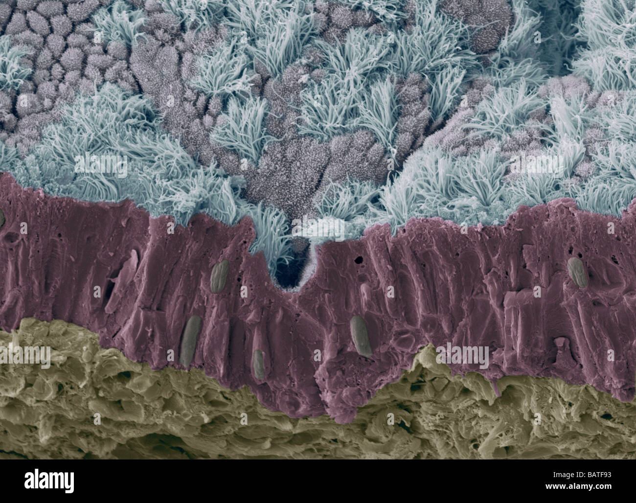 Trachea mucous membrane. Coloured scanningelectron micrograph (SEM) of a fractured mucousmembrane of the trachea - Stock Image