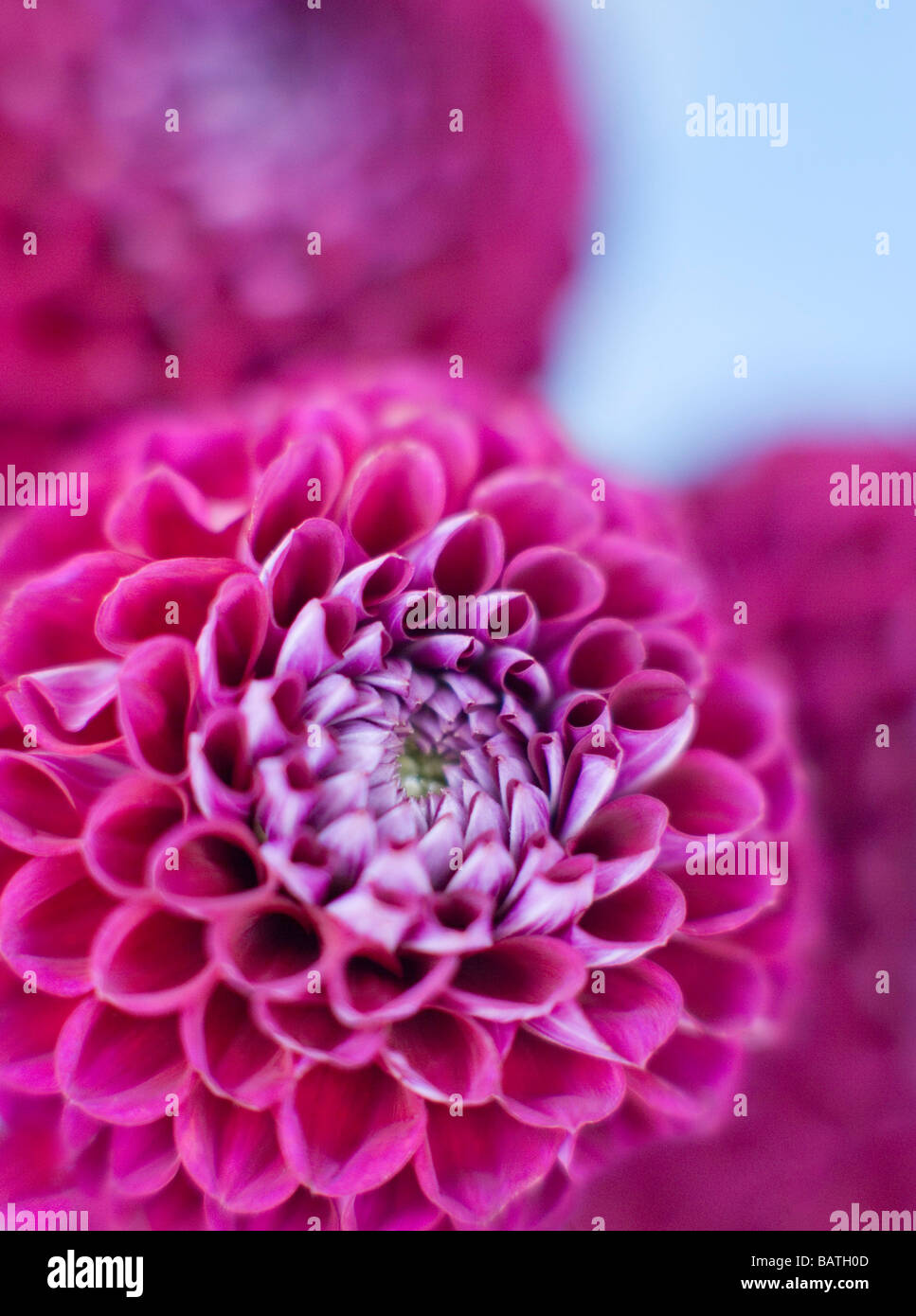 Dahlia flowers (Dahlia sp.). - Stock Image