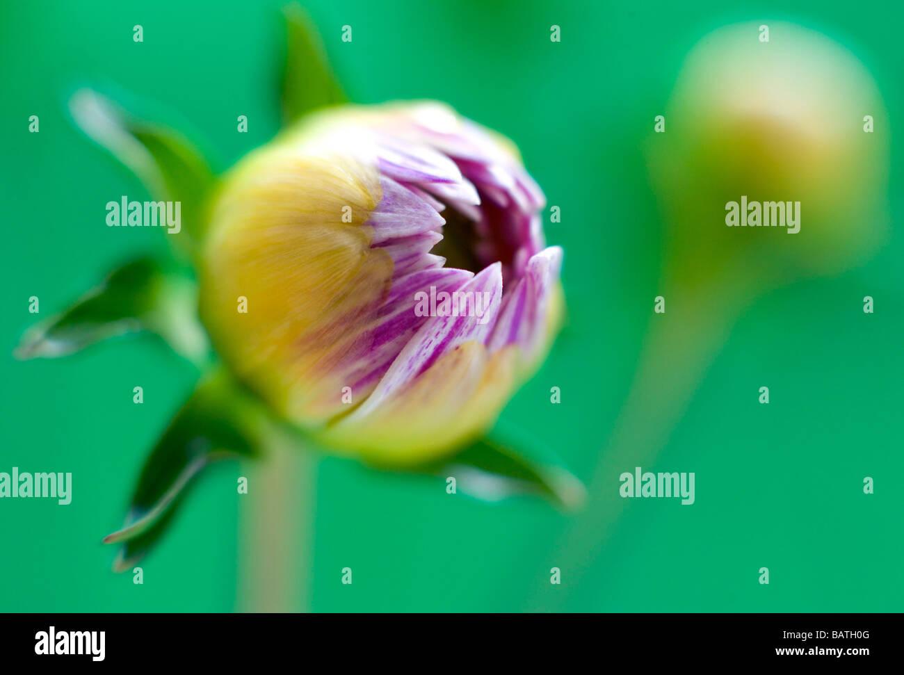 Dahlia bud (Dahlia sp.). - Stock Image