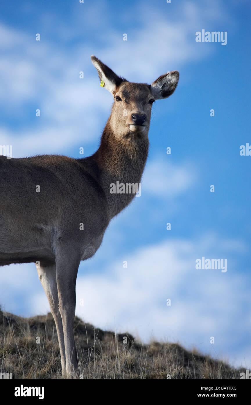 Red Deer Cervus elaphus Deer Park Heights Queenstown South Island New Zealand Stock Photo
