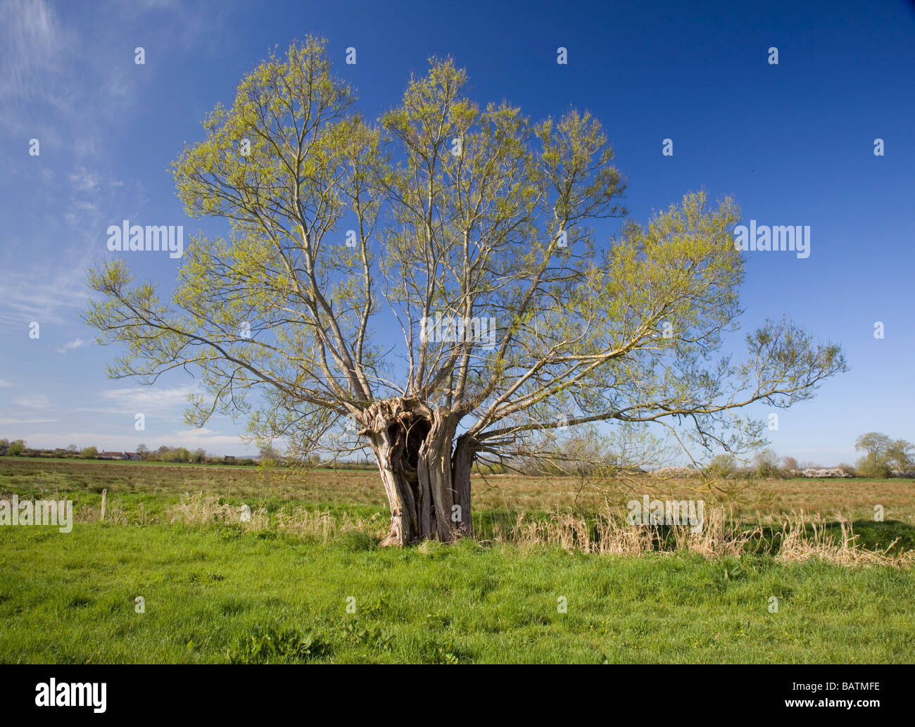 Willow pollard on the Somerset Levels in spring - Stock Image