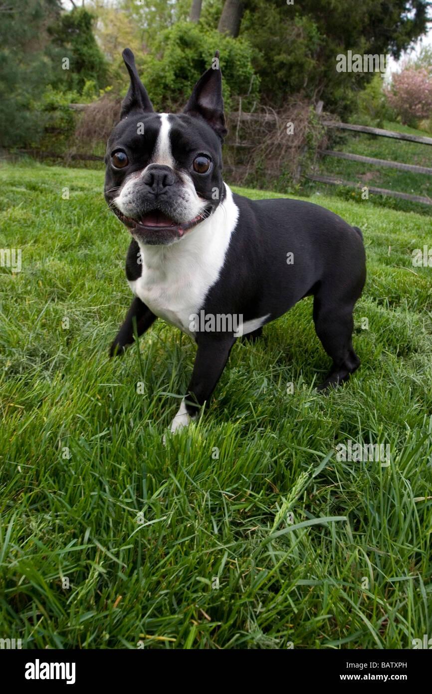 Playful Boston Terrier - Stock Image