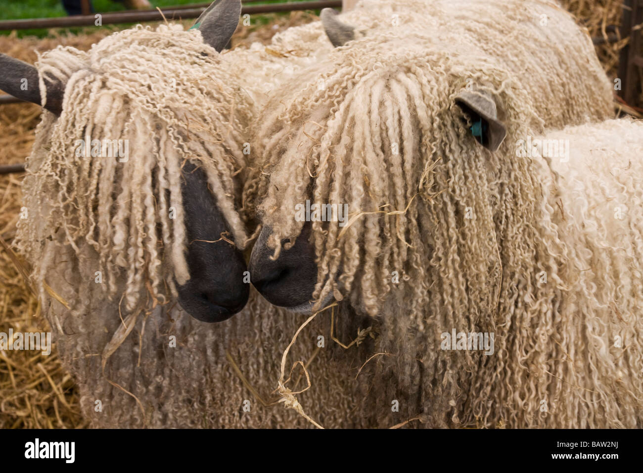 Two Wensleydale sheep. A rare breed of sheep from the Yorkshire Dales. - Stock Image