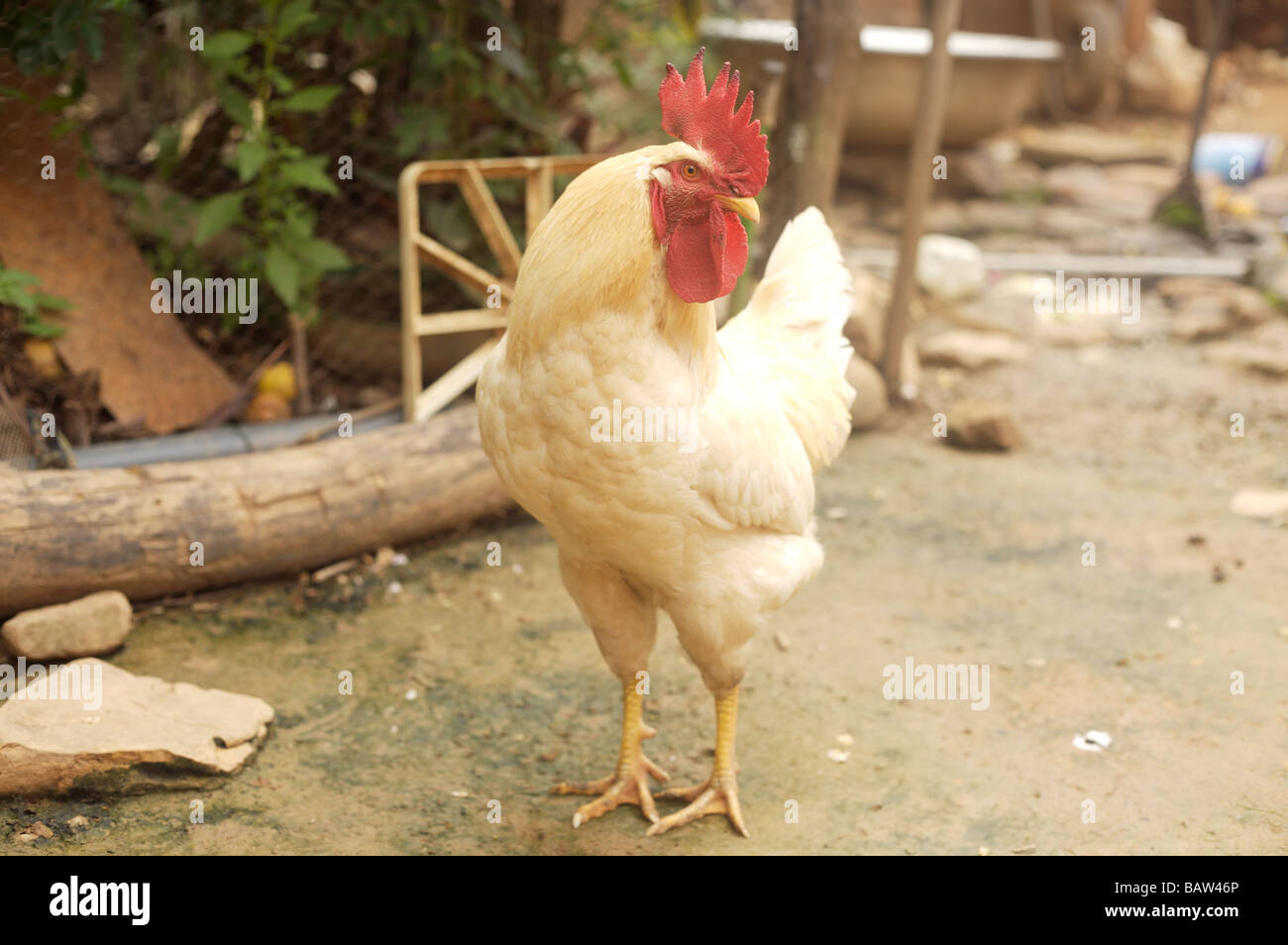 A white cockerel stands proudly in Apolo Bolivia - Stock Image