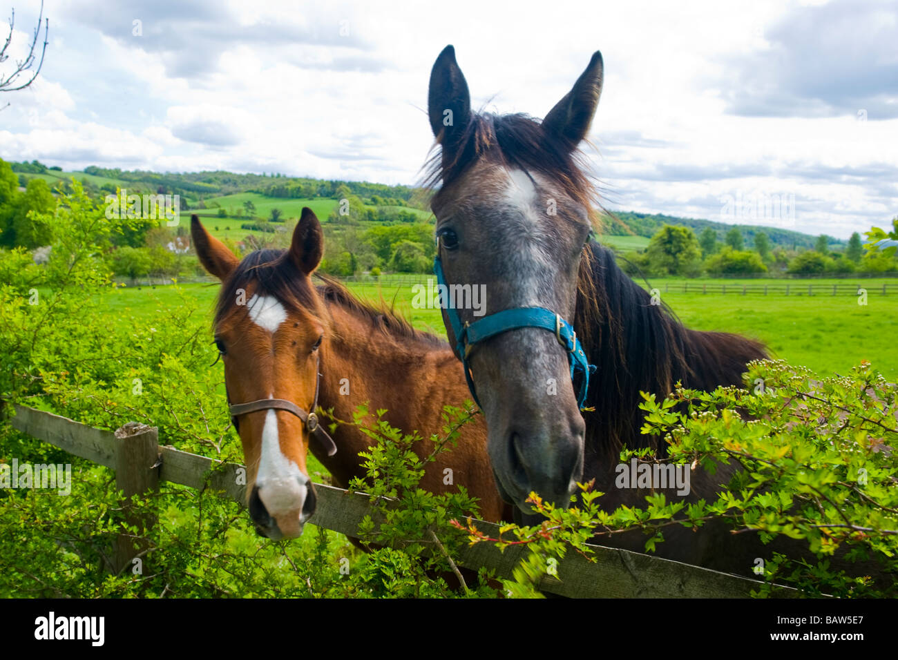 Turville heads of gray & brown horses with bridles fields pasture paddock looking into camera with Chiltern - Stock Image
