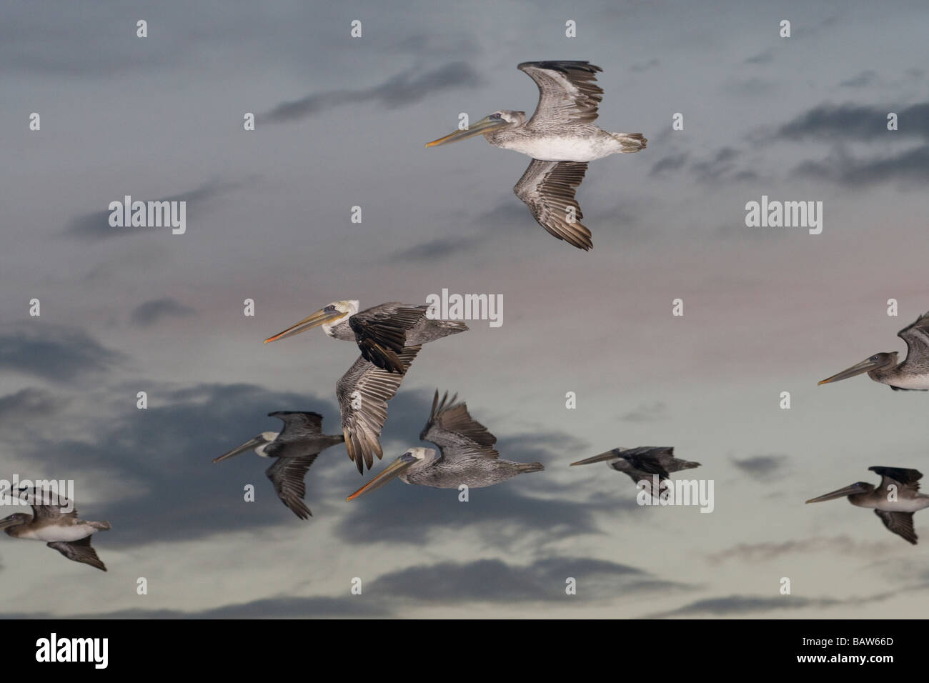 Brown Pelicans soar through the sky at dusk. - Stock Image
