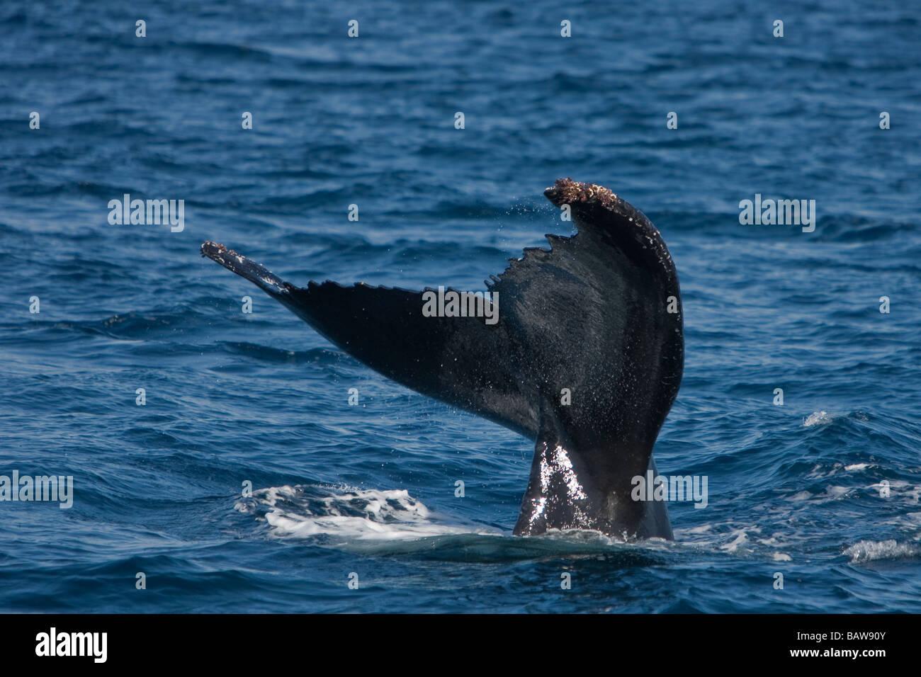 Humpback whale Megaptera novaeanglia Buckelwal lobtailing Gorda Banks Baja California Mexico - Stock Image