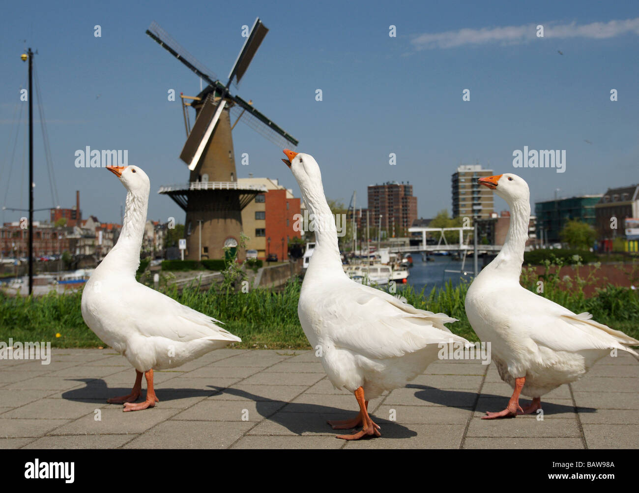 Schiedam part of Rotterdam, harbour and windmill and three geese Stock Photo