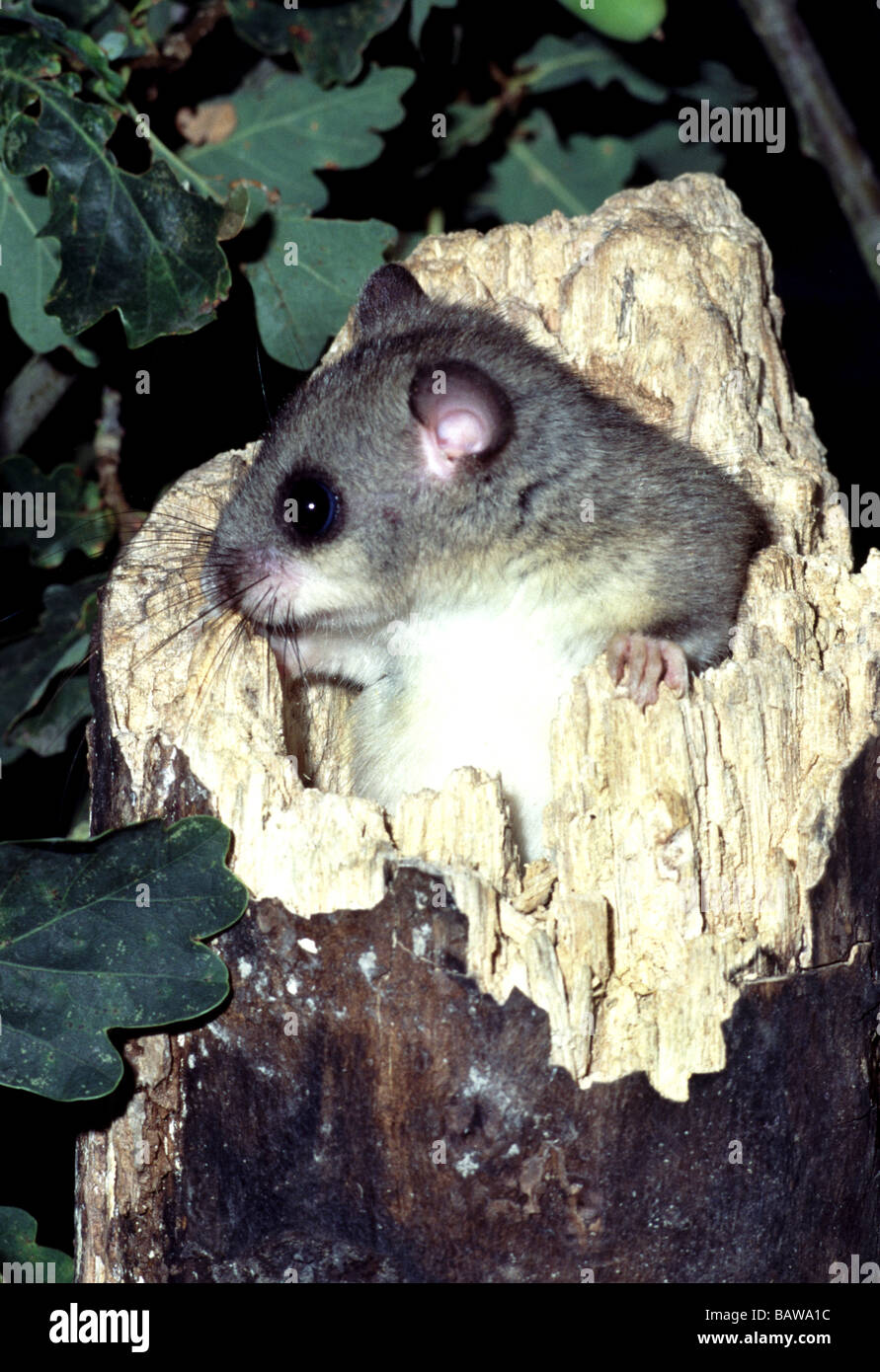 Mammals;Fat or Edible Dormouse;'Glis glis';Adult looking out of a hole in a rotten tree stump; - Stock Image
