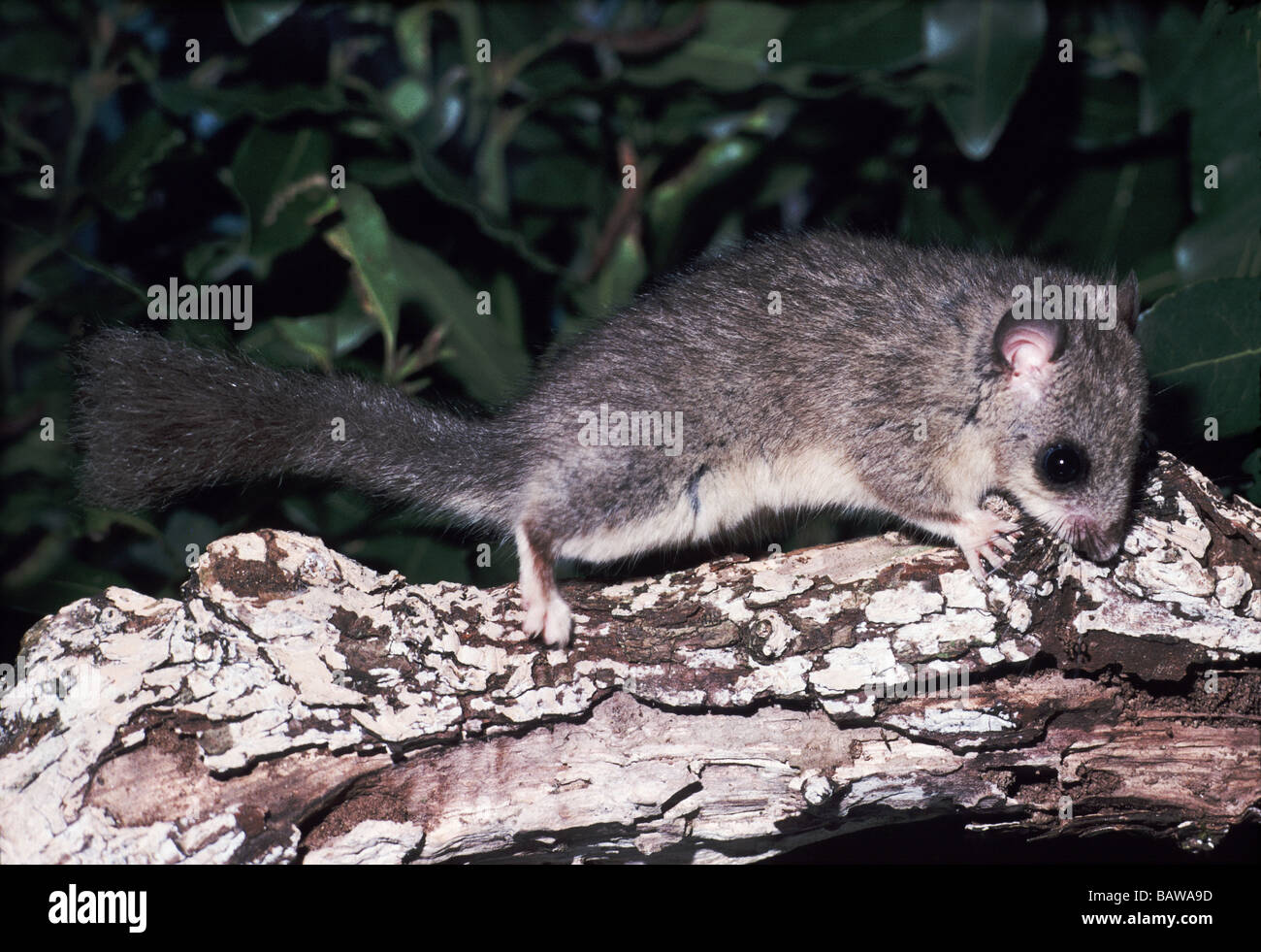 Mammals;Fat or Edible Dormouse;'Glis glis';Male on a fungus covered branch. - Stock Image