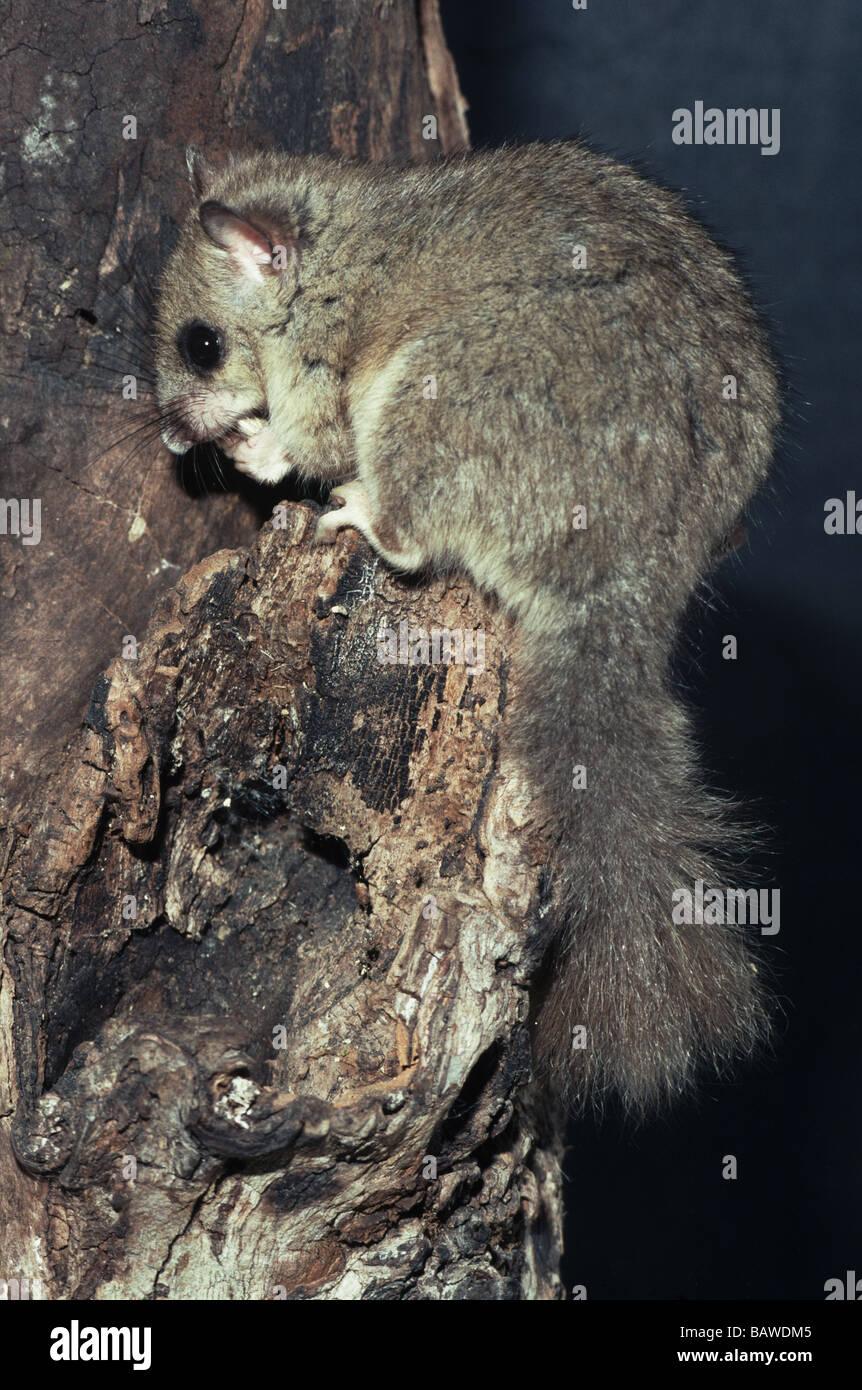 Mammals;Fat or Edible Dormouse;'Glis glis';Male sitting on tree stump. - Stock Image