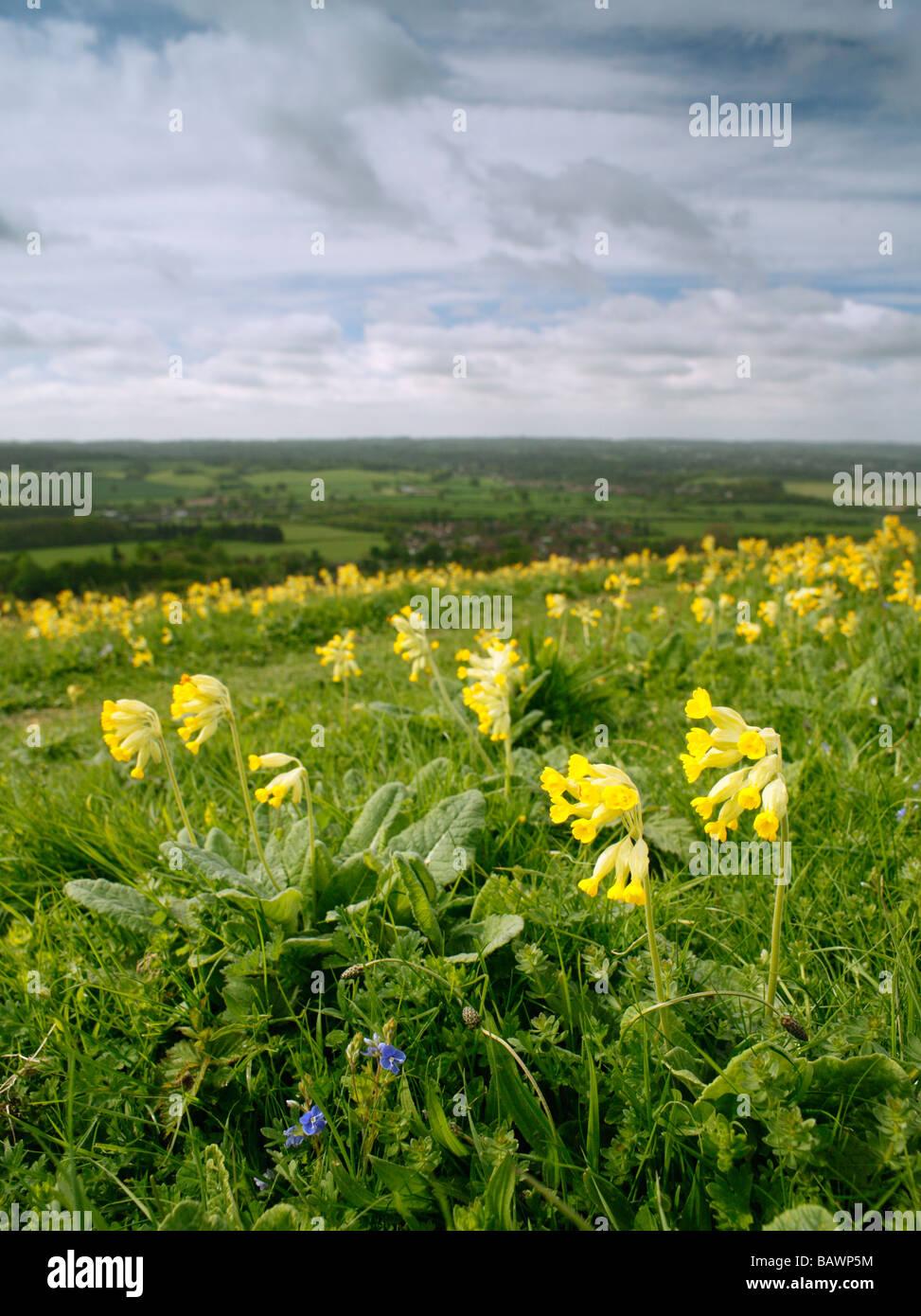 Cowslip Primula veris on the North Downs, overlooking Sevenoaks, Kent, England, UK. Stock Photo