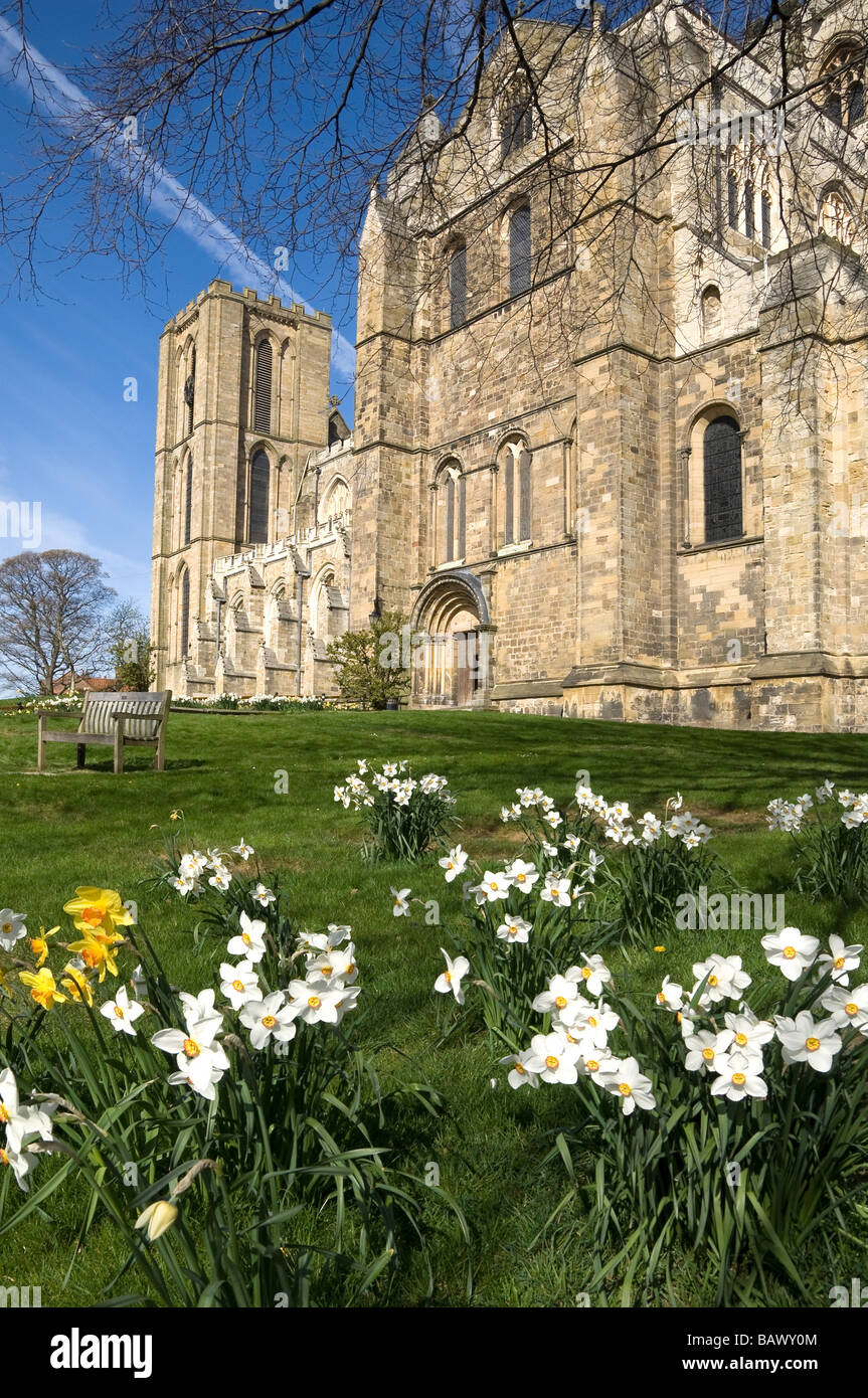 Ripon Cathedral in the spring time with daffodils viewed from the South Transept entrance North Yorkshire England - Stock Image