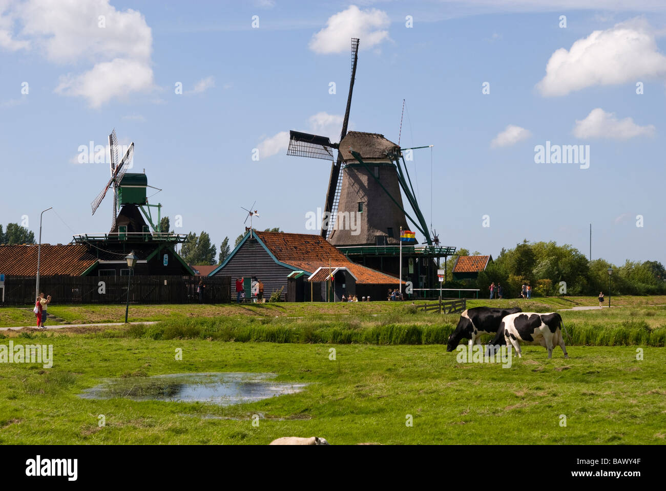 Windmills in Zaanse Schans and Dairy Cows Stock Photo