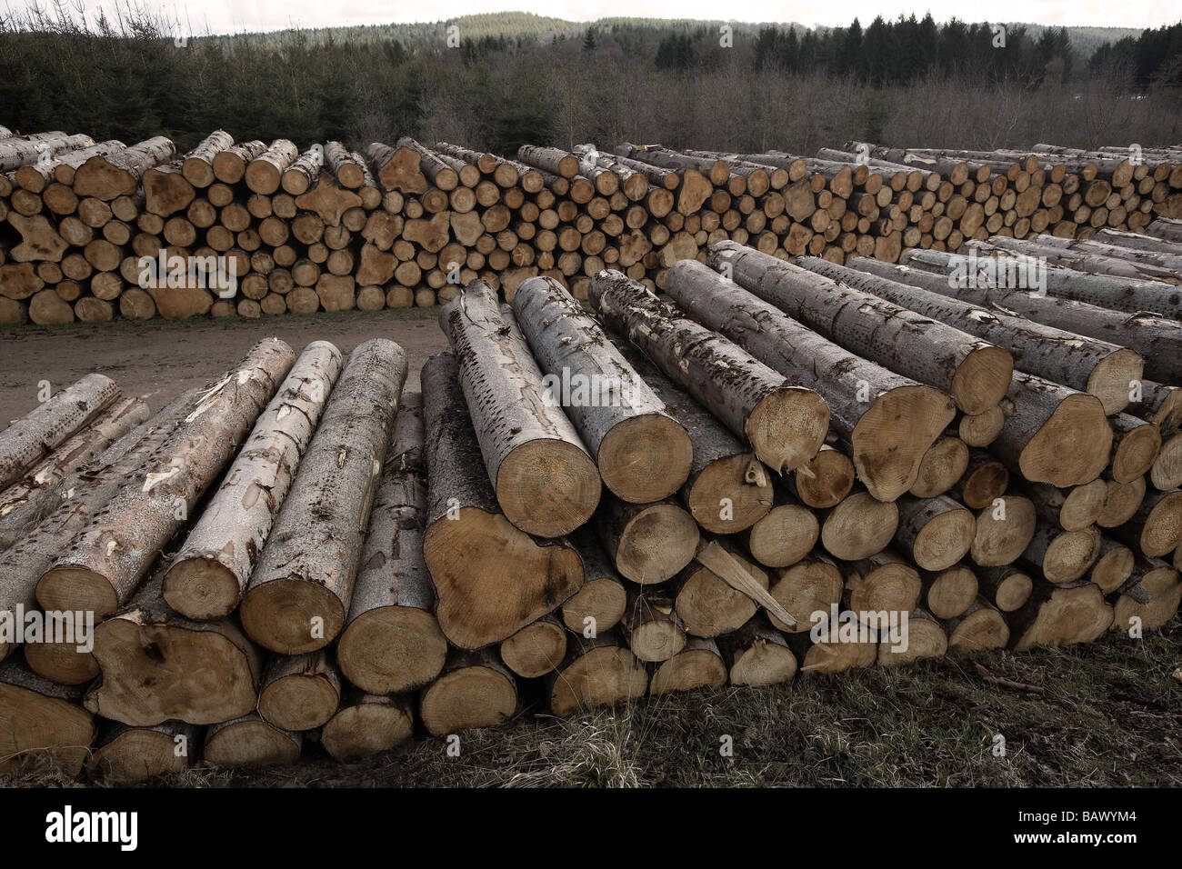 Tree felling in the Forest of Dean England UK - Stock Image