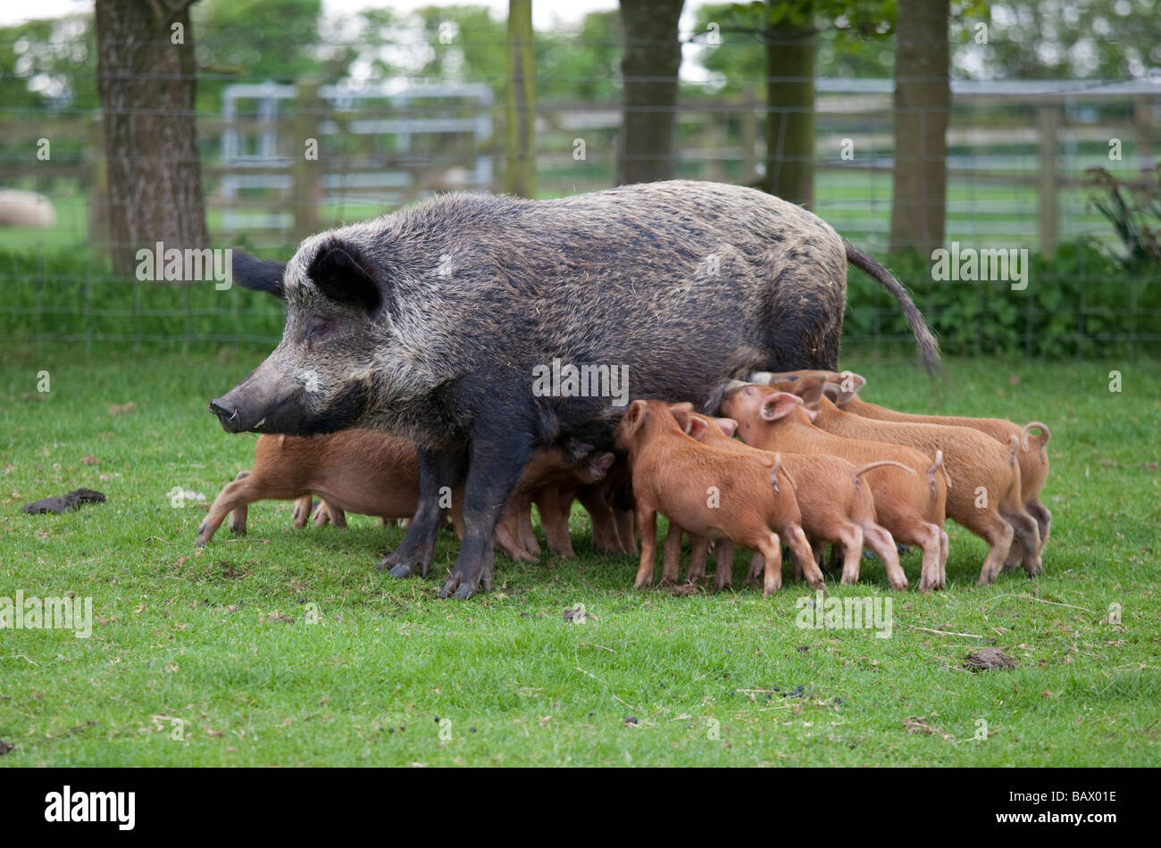 Iron age pig sow feeding piglets Cotswold Farm Park Temple Guiting Glos UK - Stock Image