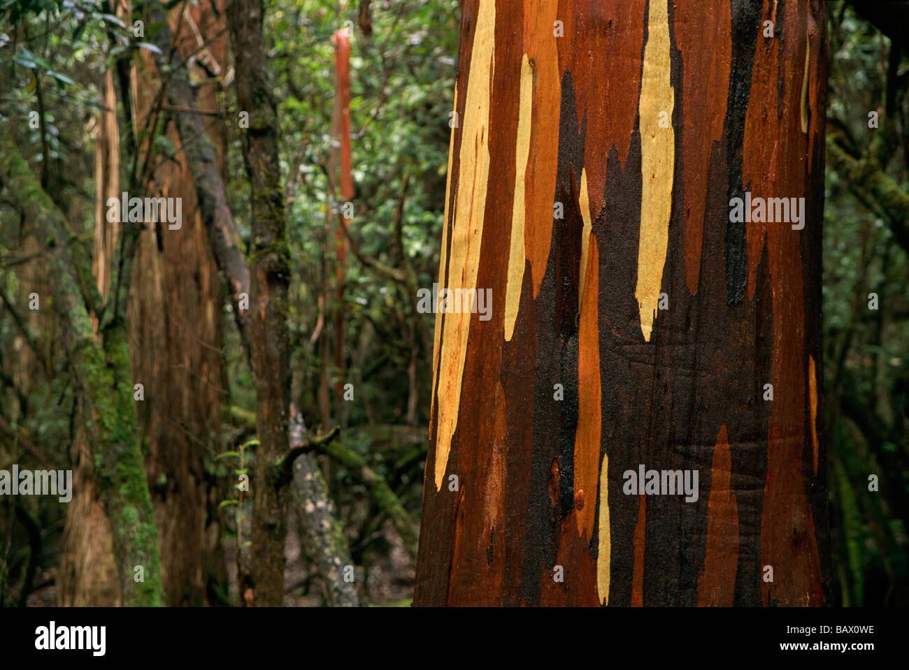 Eucalypt tree bark Stock Photo