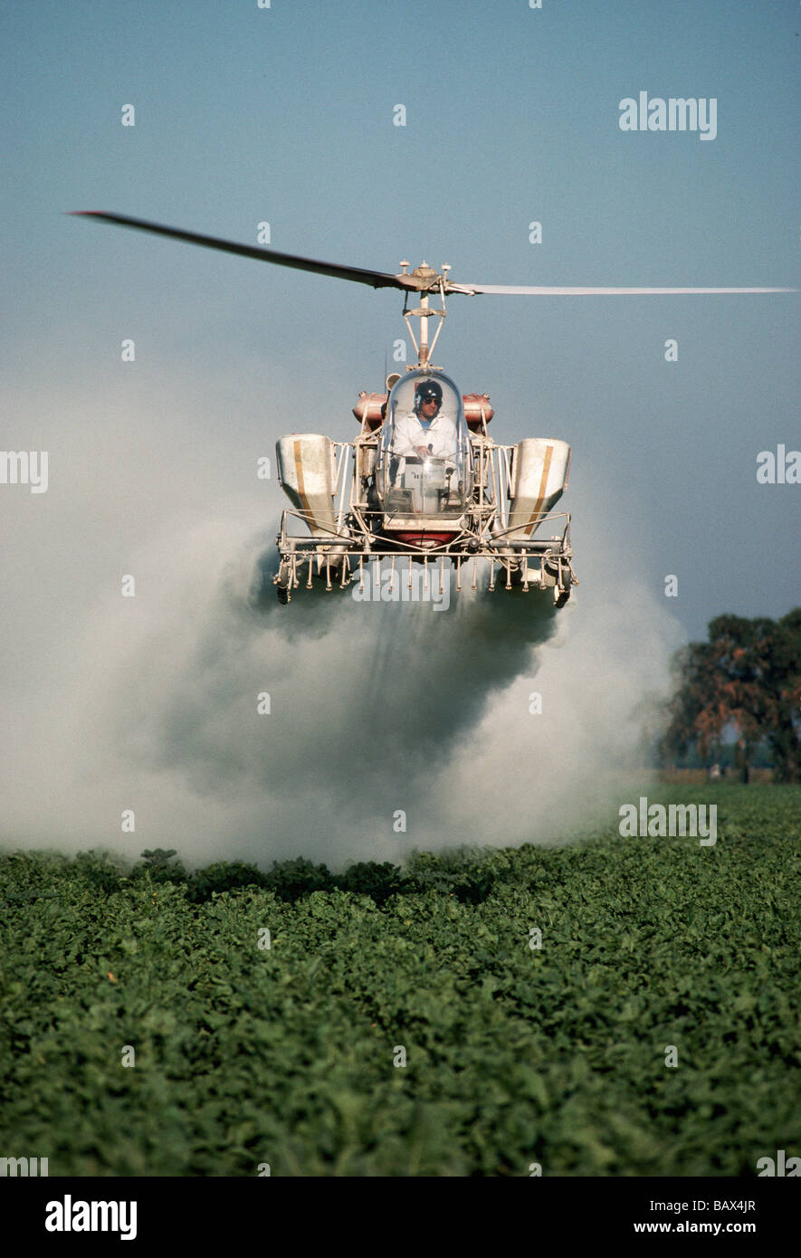 Helicopter dusting Sugar Beet field. - Stock Image
