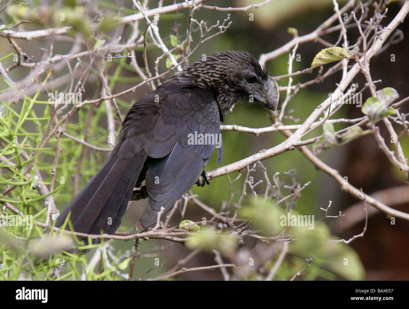 Smooth-billed Ani Bird, Crotophaga ani, Cuculidae, Santa Cruz Island (Indefatigable) Galapagos Islands, Ecuador, - Stock Image