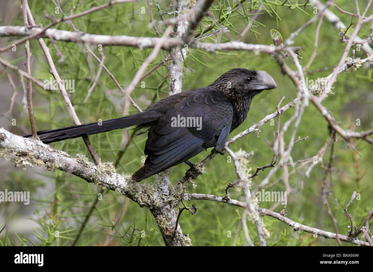 Smooth-billed Ani Bird, Crotophaga ani, Cuculidae, Santa Cruz Island (Indefatigable) Galapagos Islands, Ecuador, Stock Photo