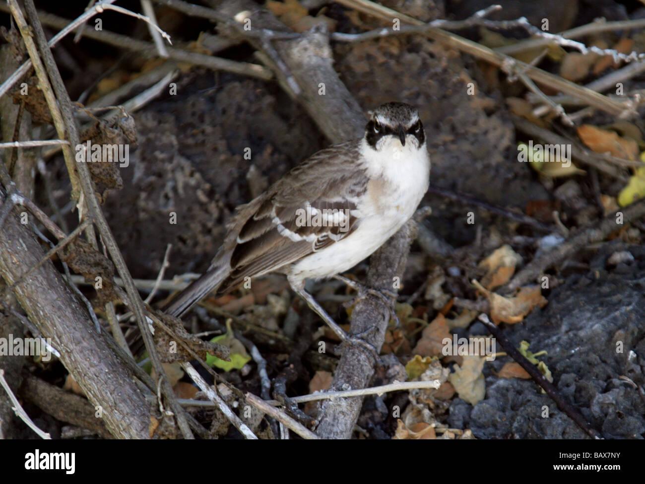 Galapagos Mockingbird, Nesomimus parvulus syn mimus parvulus, Santa Cruz Island (Indefatigable), Galapagos Islands, Stock Photo