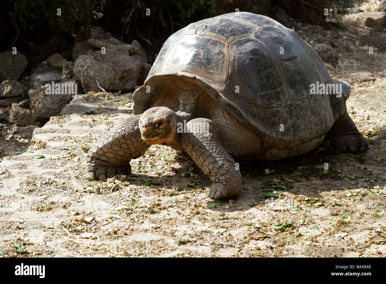 Galapagos Giant Tortoise, Central Isabela Island variation, 'Volcan Alcedo Tortoise', Chelonoidis nigra - Stock Image