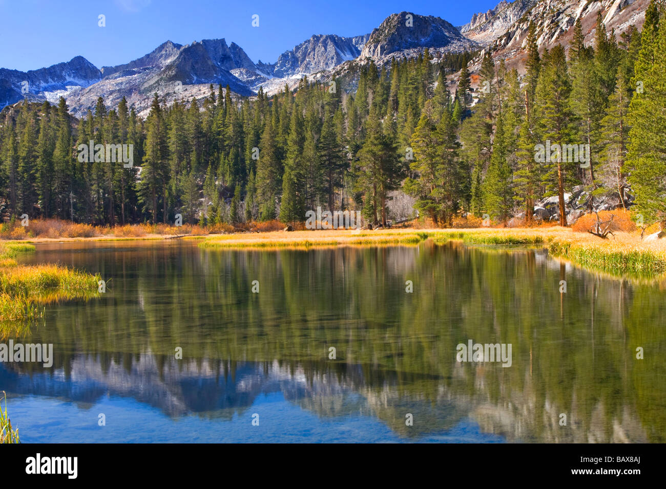 Lodgepole Pine Trees line a man-made lake in the Sierra Mountains, California. - Stock Image