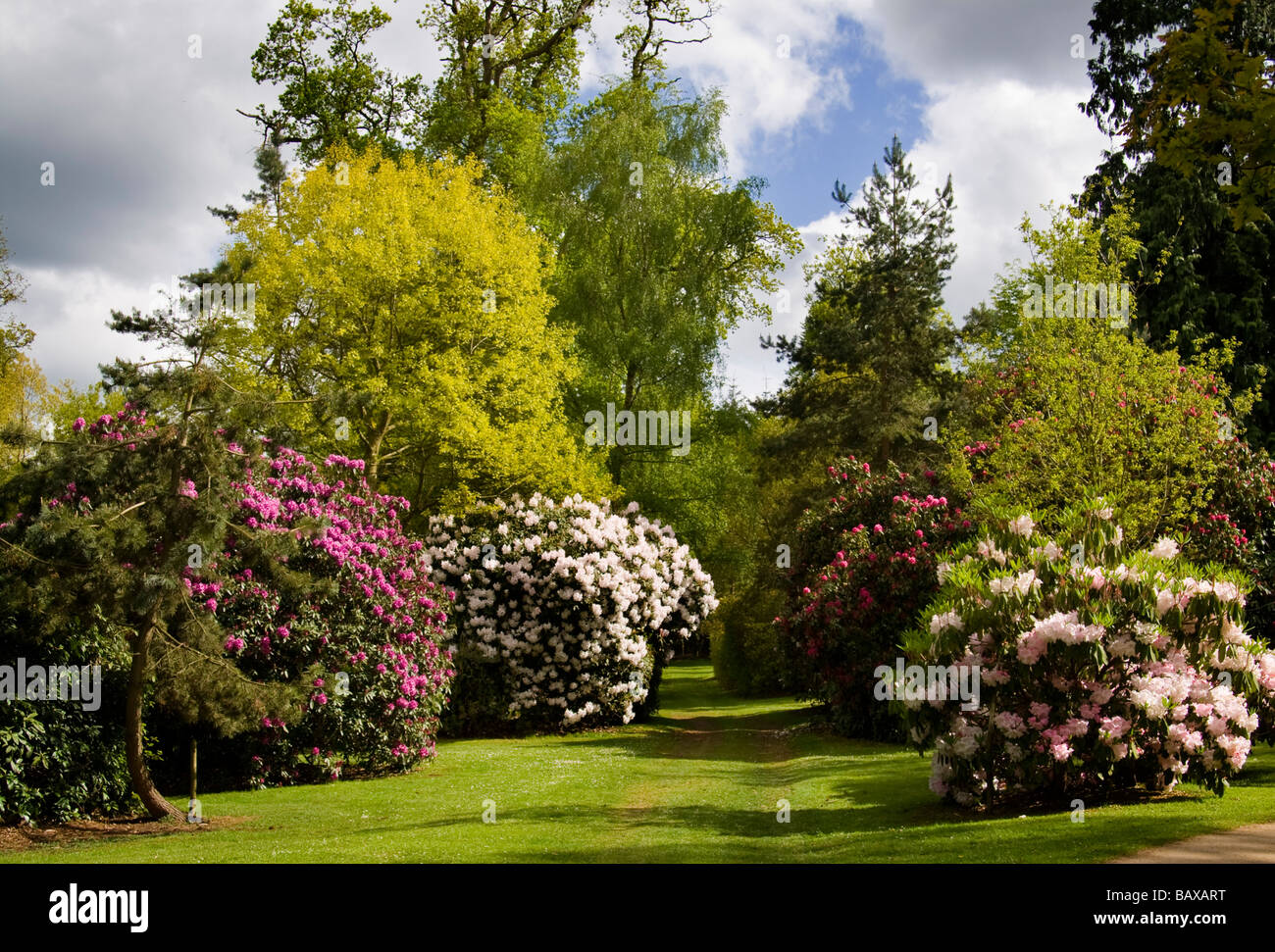Rhododendrons at Bowood House - Stock Image