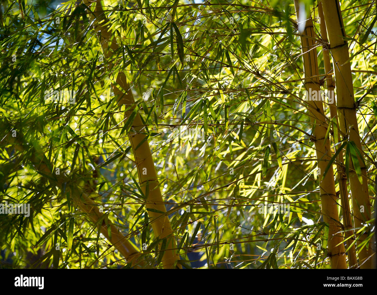 Grove of bamboo - Stock Image
