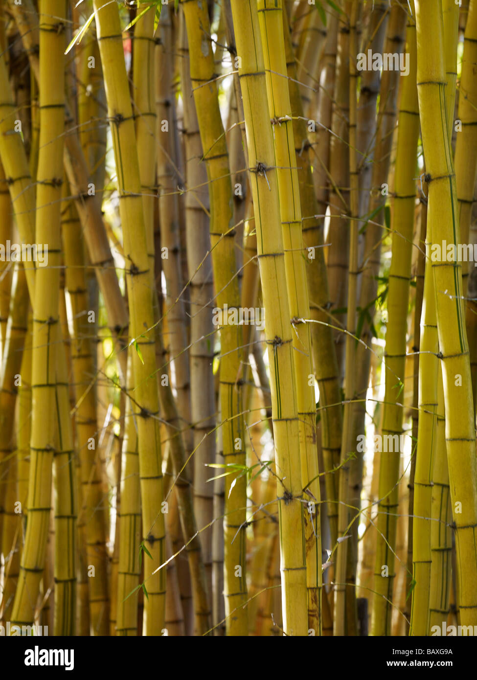 Grove of bamboo - Stock Image