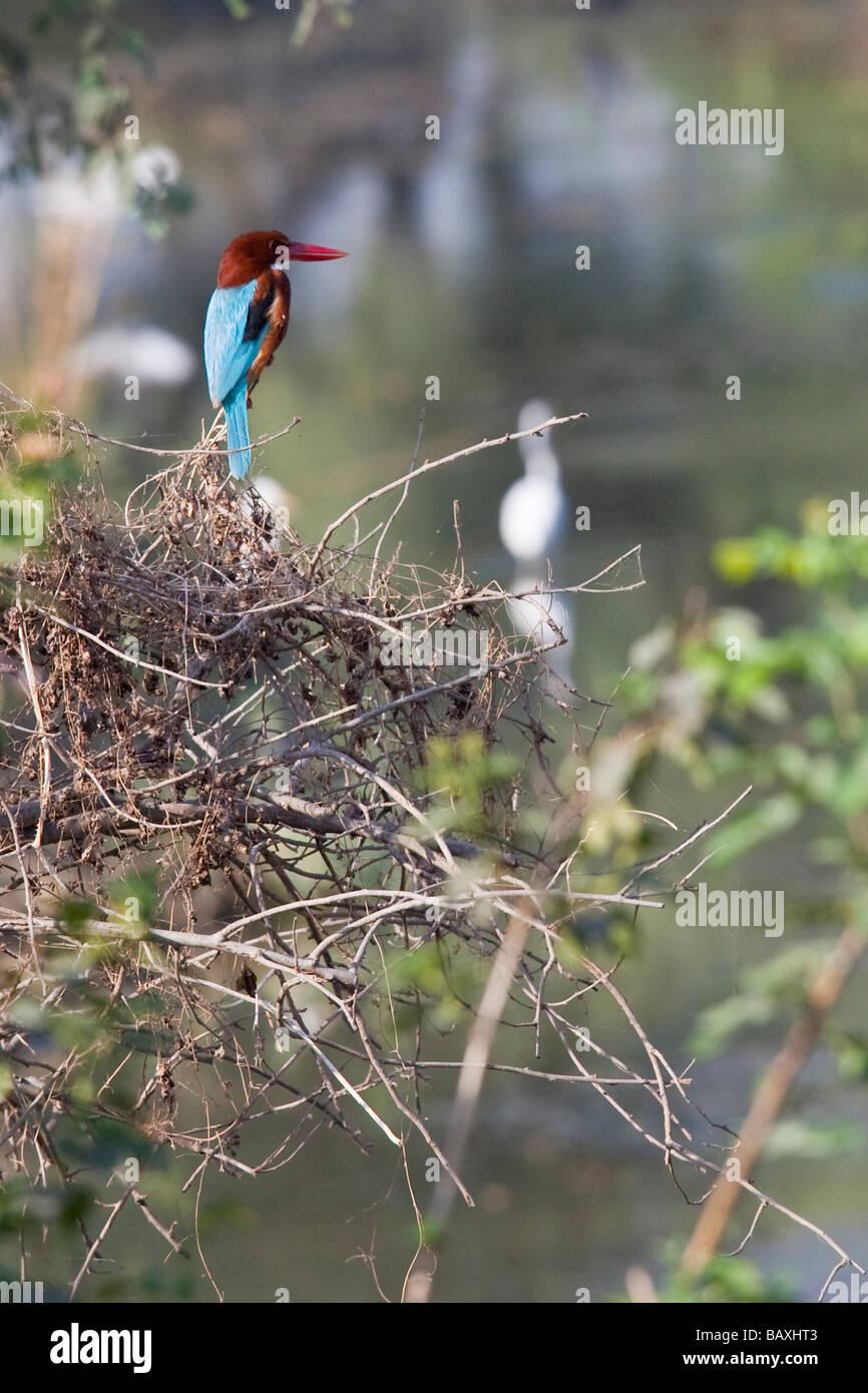 White Throated Kingfisher in Keoladeo Bird Sanctuary in Bharatpur India - Stock Image