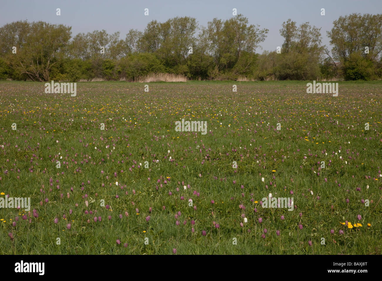 North Meadow SSI fritillary reserve Cricklade Wiltshire UK - Stock Image