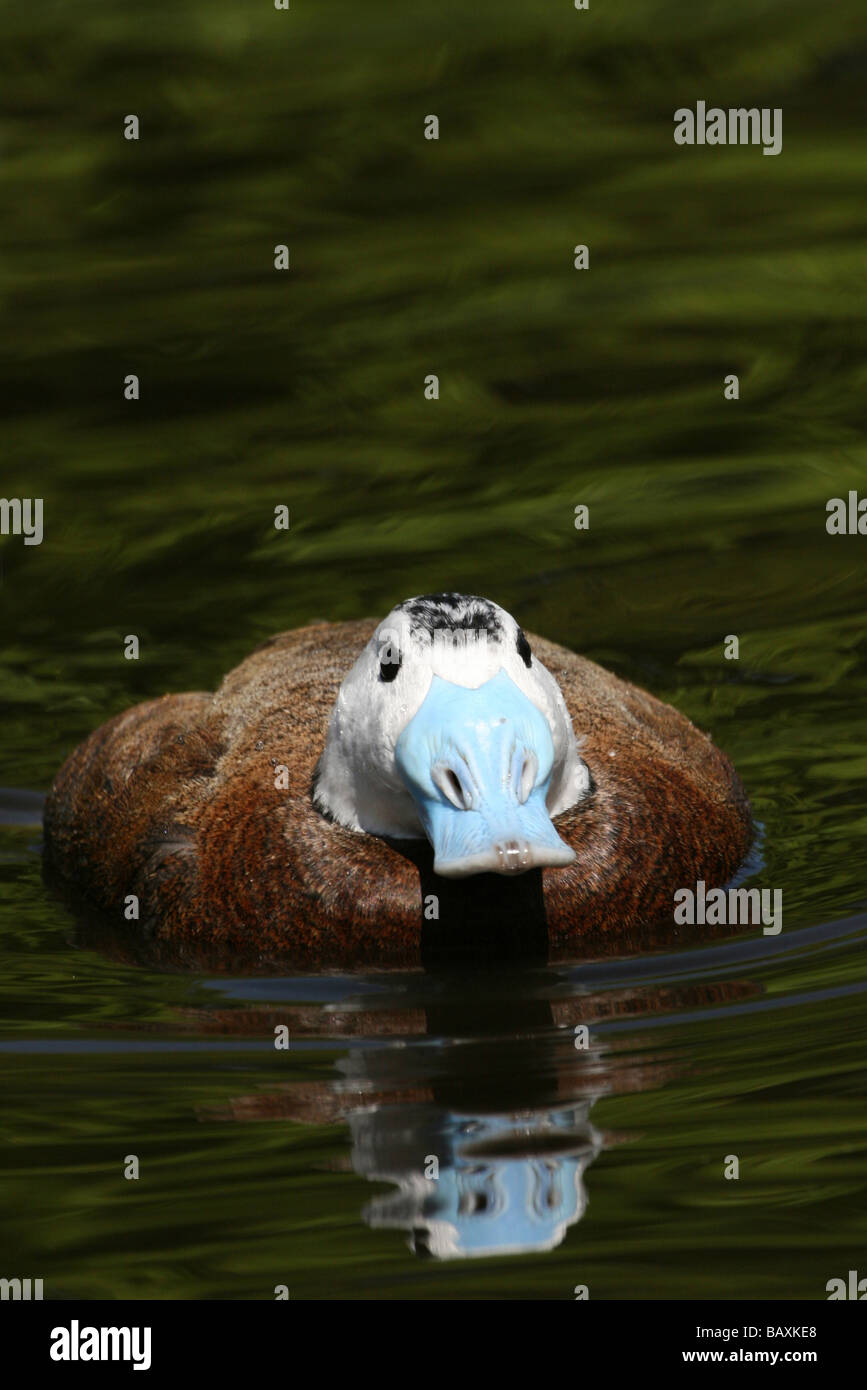 Portrait Of Male White-headed Duck Oxyura leucocephala Swimming At Martin Mere WWT, Lancashire UK - Stock Image