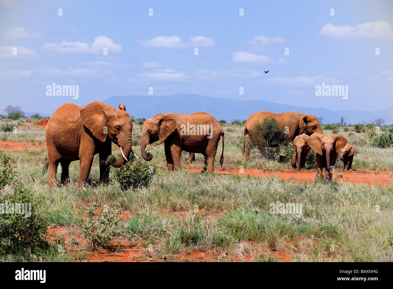 Family of African Bush Elephants in savannah, Tsavo East National Park, Coast, Kenya - Stock Image