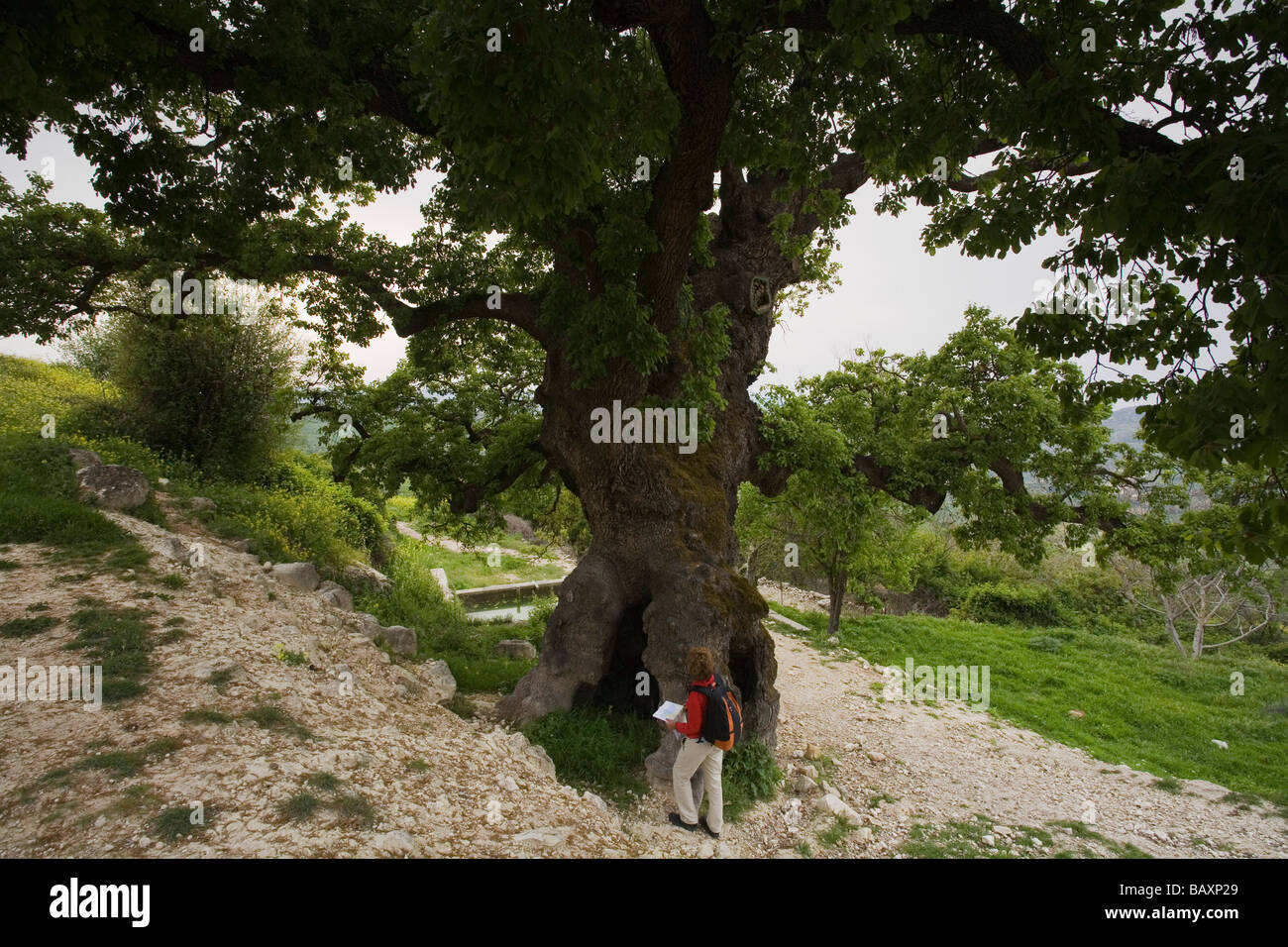 Woman looking at a hundred year old oak tree near Fythi, Troodos mountains, South Cyprus, Cyprus - Stock Image
