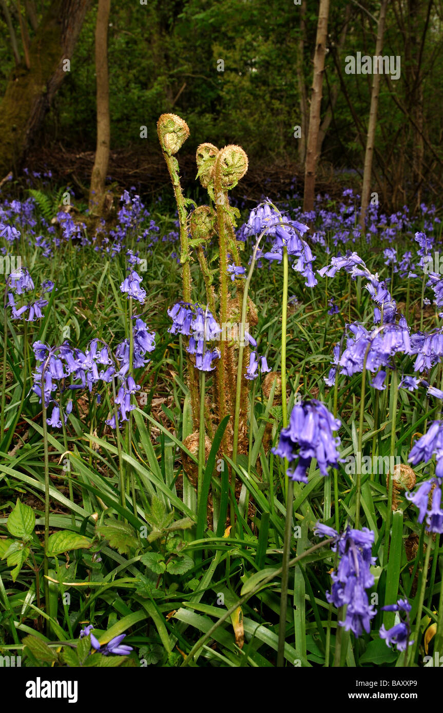Bluebells and ferns growing in woodland, Warwickshire, UK Stock Photo