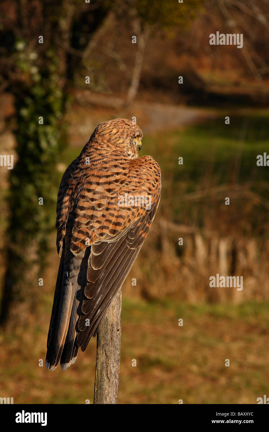 a Kestrel (Falco tinnunculus) sat on a fence post looking out over a small field Limousin France - Stock Image