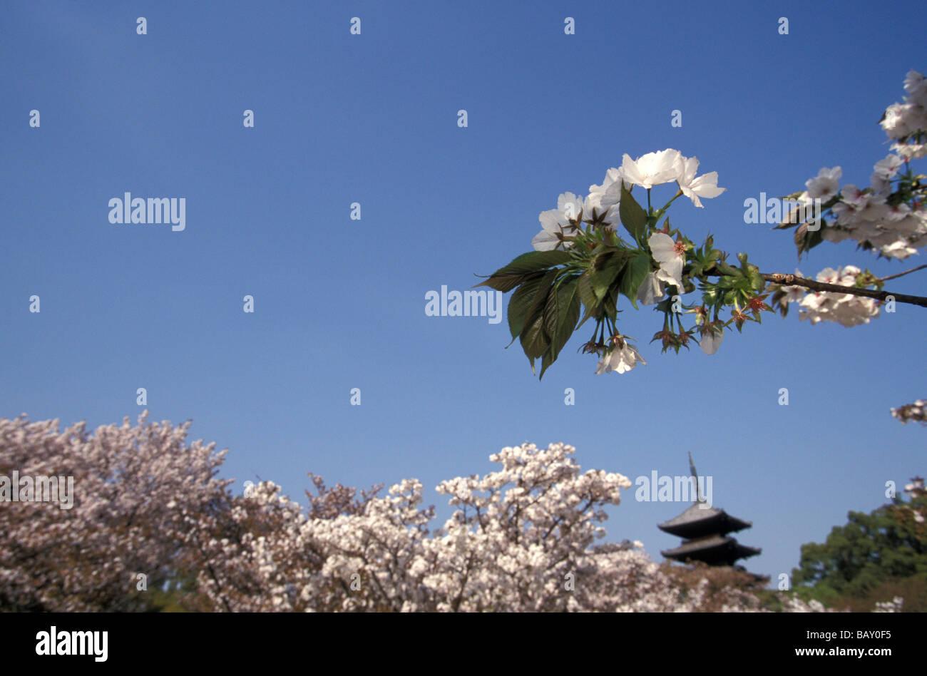 Kirschbluete, Sakura, Kyoto Japan - Stock Image
