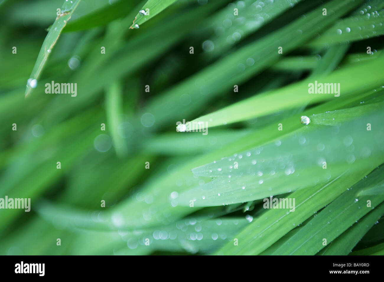 Blades of grass with waterdrops, Close-up - Stock Image