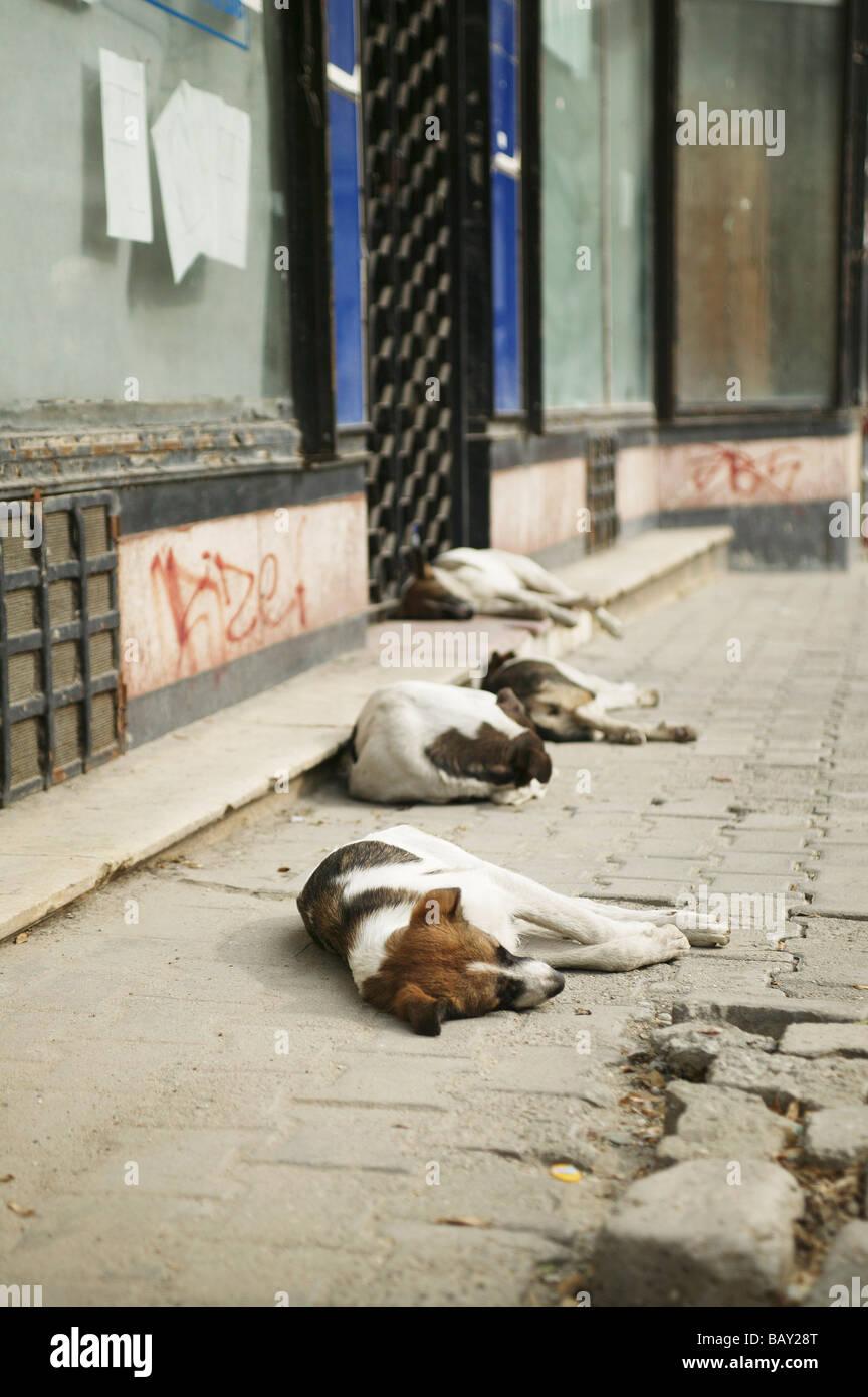 Street dogs in Bucharest, Romania - Stock Image