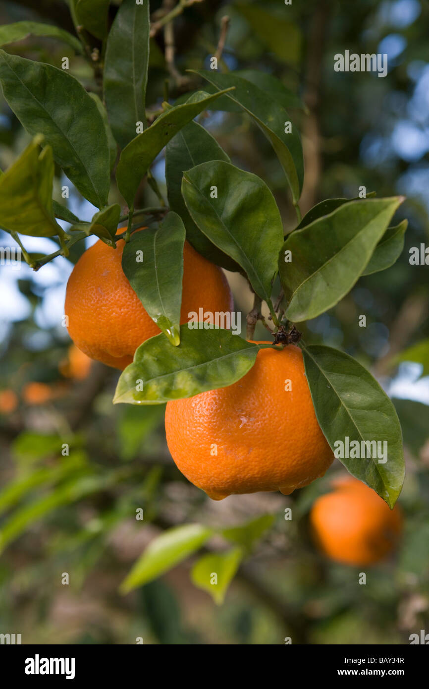 Oranges on Tree, La Reserva Rotana Finca Hotel Rural, near Manacor, Mallorca, Balearic Islands, Spain - Stock Image